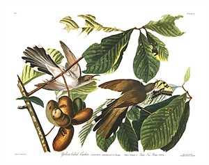 "John James Audubon Limited Centennial Edition Giclee on Paper:""Yellow-billed Cuckoo"""