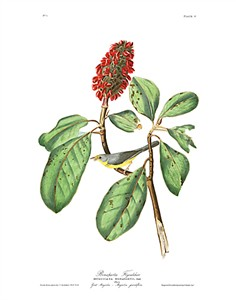 "John James Audubon Limited Centennial Edition Giclee on Paper:""Canada Warbler"""