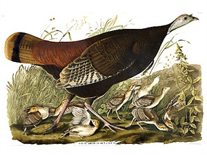 "John James Audubon Limited Centennial Edition Giclee on Paper:""Wild Turkey"""