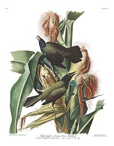 "John James Audubon Limited Centennial Edition Giclee on Paper:""Common Grackle"""