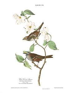 "John James Audubon Limited Centennial Edition Giclee on Paper:""White-throated Sparrow"""
