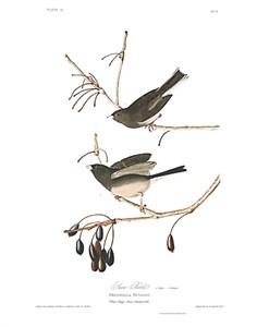 "John James Audubon Limited Centennial Edition Giclee on Paper:""Dark-eyed Junco"""