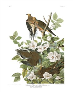 "John James Audubon Limited Centennial Edition Giclee on Paper:""Mourning Dove"""