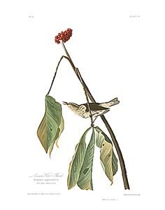 "John James Audubon Limited Centennial Edition Giclee on Paper:""Louisiana Waterthrush"""