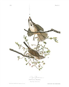 "John James Audubon Limited Centennial Edition Giclee on Paper:""Song Sparrow"""