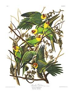 "John James Audubon Limited Centennial Edition Giclee on Paper:""Carolina Parakeet"""