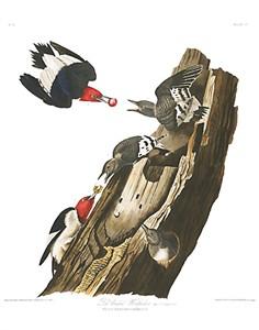 "John James Audubon Limited Centennial Edition Giclee on Paper:""Red-headed Woodpecker"""
