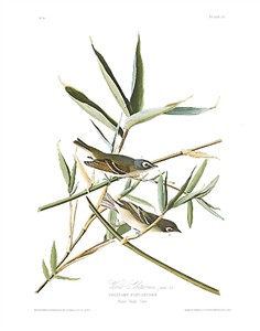 "John James Audubon Limited Centennial Edition Giclee on Paper:""Blue-headed Vireo"""