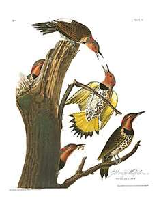 "John James Audubon Limited Centennial Edition Giclee on Paper:""Northern Flicker"""