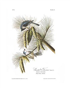 "John James Audubon Limited Centennial Edition Giclee on Paper:""Tufted Titmouse"""