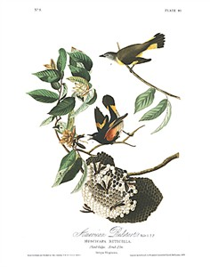 "John James Audubon Limited Centennial Edition Giclee on Paper:""American Redstart"""