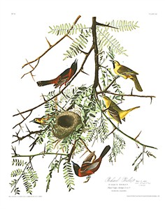 "John James Audubon Limited Centennial Edition Giclee on Paper:""Orchard Oriole"""