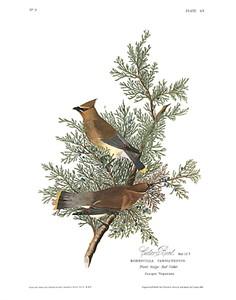 """John James Audubon Limited Centennial Edition Giclee on Paper:""""Cedar Waxwing"""""""
