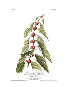 """John James Audubon Limited Centennial Edition Giclee on Paper:""""Cerulean Warbler"""""""