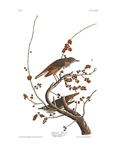 "John James Audubon Limited Centennial Edition Giclee on Paper:""Hermit Thrush"""