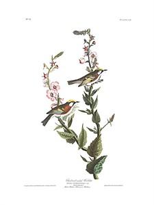"John James Audubon Limited Centennial Edition Giclee on Paper:""Chestnut-sided Warbler"""