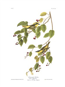 "John James Audubon Limited Centennial Edition Giclee on Paper:""Carbonated Warbler"""