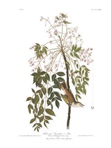 "John James Audubon Limited Centennial Edition Giclee on Paper:""White-eyed Vireo"""