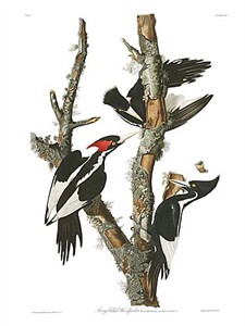"John James Audubon Limited Centennial Edition Giclee on Paper:""Ivory-billed Woodpecker"""