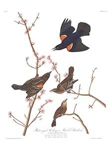 "John James Audubon Limited Centennial Edition Giclee on Paper:""Red-winged Blackbird"""