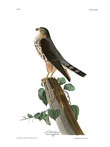 "John James Audubon Limited Centennial Edition Giclee on Paper:""Merlin"""