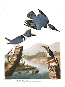 "John James Audubon Limited Centennial Edition Giclee on Paper:""Belted Kingfisher"""