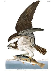 "John James Audubon Limited Centennial Edition Giclee on Paper:""Osprey"""
