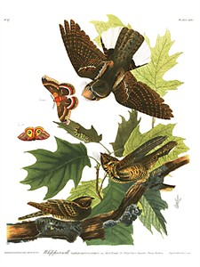 "John James Audubon Limited Centennial Edition Giclee on Paper:""Whip-poor-will"""