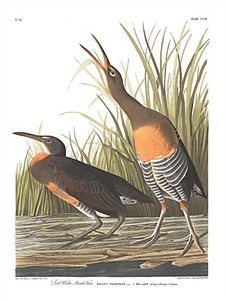 "John James Audubon Limited Centennial Edition Giclee on Paper:""Clapper Rail"""