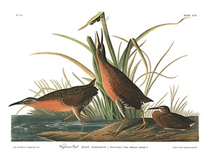 "John James Audubon Limited Centennial Edition Giclee on Paper:""Virginia Rail"""