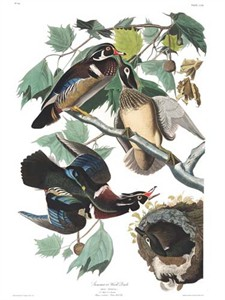 "John James Audubon Limited Centennial Edition Giclee on Paper:""Wood Duck"""
