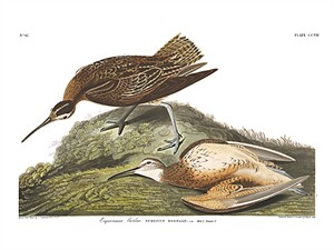 "John James Audubon Limited Centennial Edition Giclee on Paper:""Eskimo Curlew"""