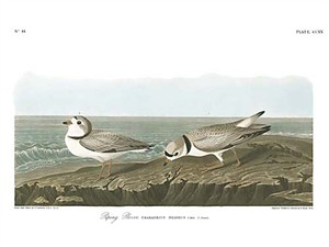 "John James Audubon Limited Centennial Edition Giclee on Paper:""Piping Plover"""