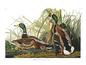 "John James Audubon Limited Centennial Edition Giclee on Paper:""Mallard"""