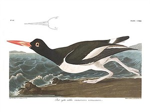 "John James Audubon Limited Centennial Edition Giclee on Paper:""American Oystercatcher"""