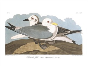 "John James Audubon Limited Centennial Edition Giclee on Paper:""Black-legged Kittiwake"""