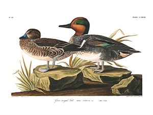 "John James Audubon Limited Centennial Edition Giclee on Paper:""Green-winged Teal"""