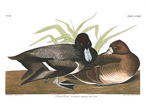 "John James Audubon Limited Centennial Edition Giclee on Paper:""Greater Scaup"""