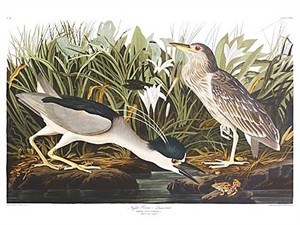 "John James Audubon Limited Centennial Edition Giclee on Paper:""Black-crowned Night Heron"""