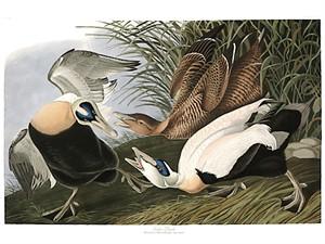 "John James Audubon Limited Centennial Edition Giclee on Paper:""Common Eider"""