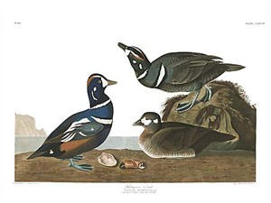 "John James Audubon Limited Centennial Edition Giclee on Paper:""Harlequin Duck"""