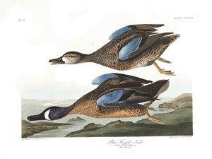 "John James Audubon Limited Centennial Edition Giclee on Paper:""Blue-winged Teal"""