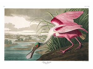 "John James Audubon Limited Centennial Edition Giclee on Paper:""Roseate Spoonbill"""