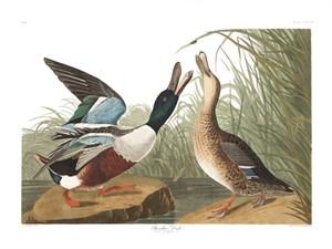 """John James Audubon Limited Centennial Edition Giclee on Paper:""""Northern Shoveller"""""""