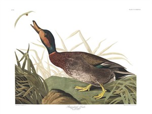 "John James Audubon Limited Centennial Edition Giclee on Paper:""Mallard & Gadwall Hybrid"""