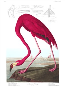 "John James Audubon Limited Centennial Edition Giclee on Paper:""American Flamingo"""