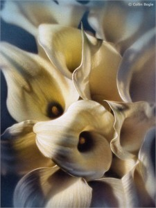 """Collin Bogle Handsigned and Numbered Limited Edition :""""Cala Lilies"""""""