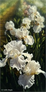 "Collin Bogle Handsigned and Numbered Limited Edition :""Iris Garden"""