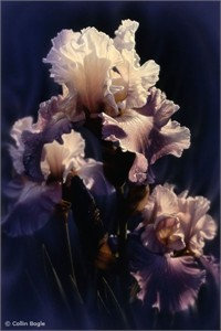 """Collin Bogle Handsigned and Numbered Limited Edition :""""Purple Iris"""""""