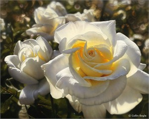 "Collin Bogle Handsigned and Numbered Limited Edition :""White Roses"""